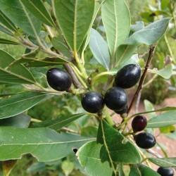 Sementes Loureiro ou Louro (Laurus nobilis) 1.95 - 8