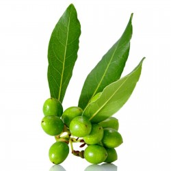 Σπόροι Δάφνη (φυτό) (Laurus nobilis) 1.95 - 1