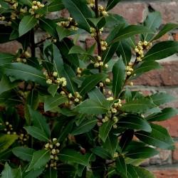 Sementes Loureiro ou Louro (Laurus nobilis) 1.95 - 2