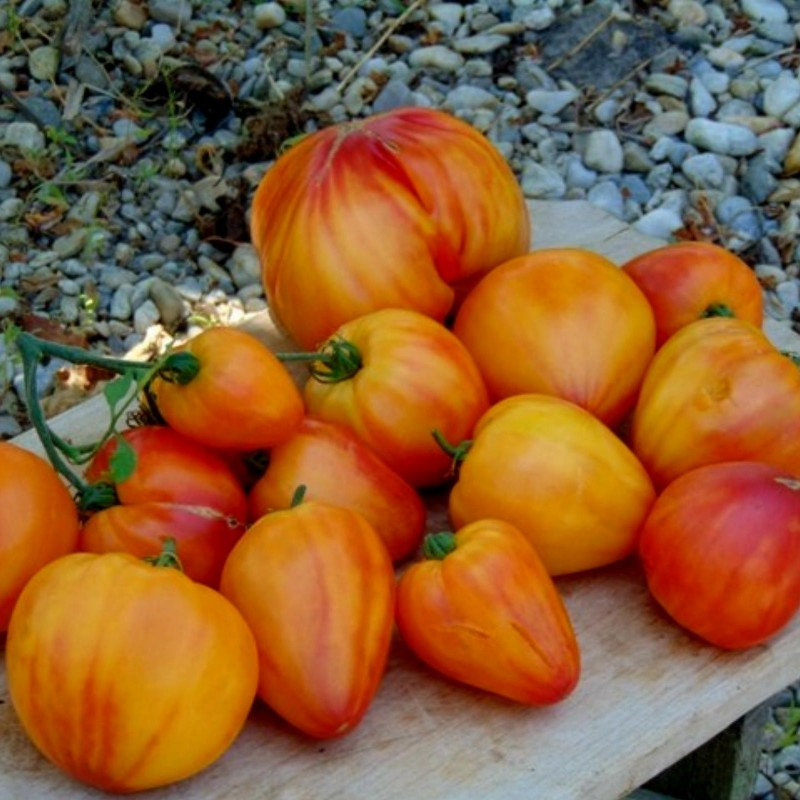 Sementes de Tomate Orange Russian 1.8 - 4