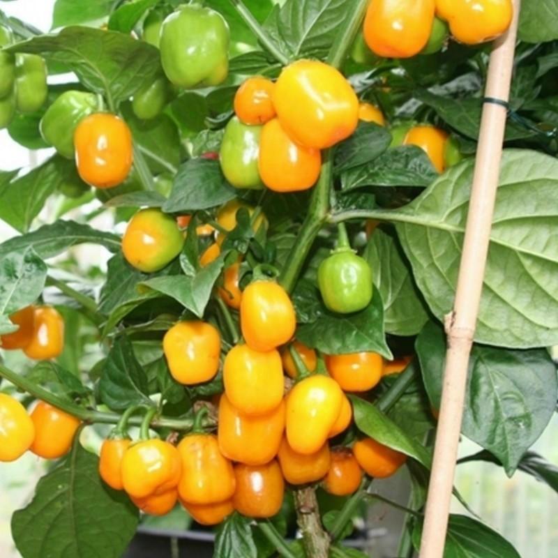 Σπόροι Τσίλι πιπέρι Habanero Apple Orange 2.5 - 1
