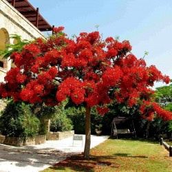 Sementes de Flor-Do-Paraíso, Pau-Rosa (Delonix regia) 2.25 - 2