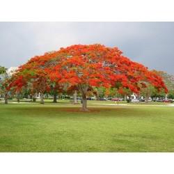 Royal Poinciana, Flamboyant Seeds (Delonix regia) 2.25 - 4