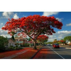 Sementes de Flor-Do-Paraíso, Pau-Rosa (Delonix regia) 2.25 - 7
