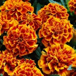 Dwarf Marigold Seeds 1.45 - 2
