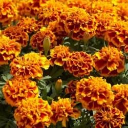 Dwarf Marigold Seeds 1.45 - 1
