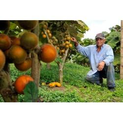 Sementes de Lulo - Naranjilla - Naranjilha (Solanum Quitoense) 2.45 - 3