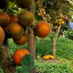 Σπόροι Φρούτα Naranjilla Lulo (Solanum quitoense) 2.45 - 2