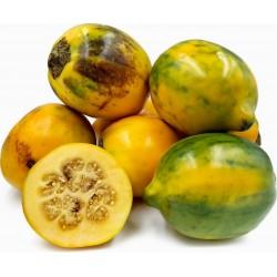 Sementes de Tarambulo - Berinjela peludas (Solanum ferox) 2 - 1