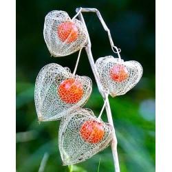 Seme Cveca Lampion (Physalis alkekengi) 1.55 - 1