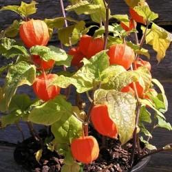Lampionblume Samen (Physalis alkekengi) 1.55 - 3