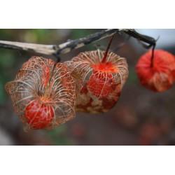 Seme Cveca Lampion (Physalis alkekengi) 1.55 - 4