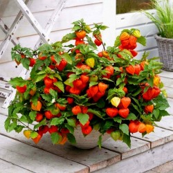 Bladder cherry Seeds, Chinese lantern 1.55 - 5