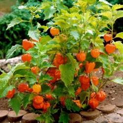 Lampionblume Samen (Physalis alkekengi) 1.55 - 6