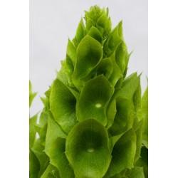 Bells of Ireland Seeds (Moluccella laevis) 1.75 - 1