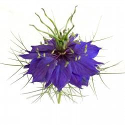 Νιγκελλα η δαμασκηνή - βιολογικός σπόρος (Nigella damascena) 1.95 - 1