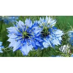 Sementes de Dedo-de-dama (Nigella damascena) 1.95 - 3