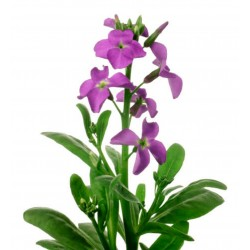 Night Scented Stock Seeds 2.05 - 1