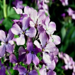 Night Scented Stock Seeds 2.05 - 2