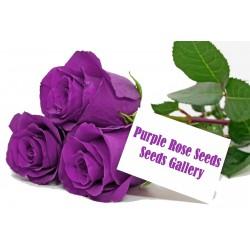 Purple Rose Samen 2.5 - 2