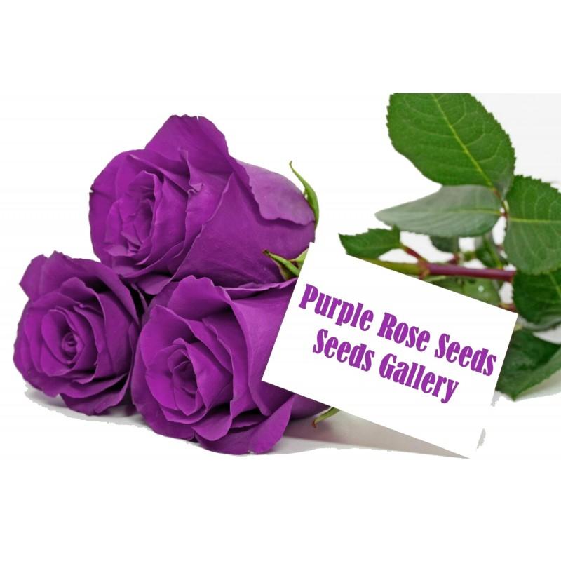 Sementes de Rosa Púrpura 2.5 - 2