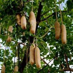 Semi di Albero Delle Salsicce (Kigelia africana) 2.049999 - 13