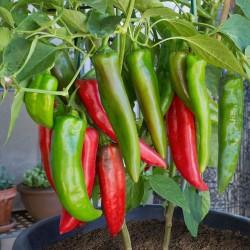 Anahajm Chili Ljuta Papricica Seme (Capsicum Annuum) 1.75 - 1