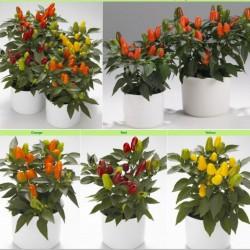 Chili Seeds 'Karneval' 1.5 - 3