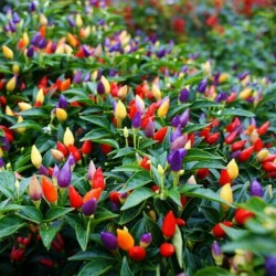 Bolivian Rainbow Chili Seeds 2.5 - 1