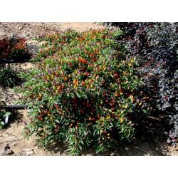 Lila Chili Samen Numex Twilight 1.95 - 5