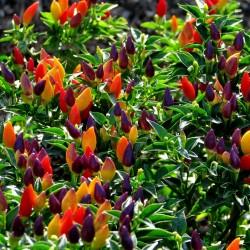 Sementes de pimentão Numex Twilight 1.95 - 1