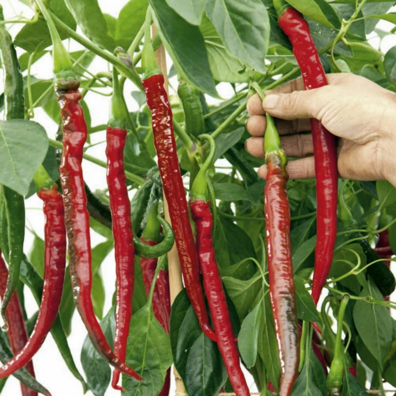 """Joes Long"" Chilli Pepper Seeds 1.85 - 1"