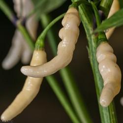 Aribibi Gusano Chili Seeds 2.5 - 1