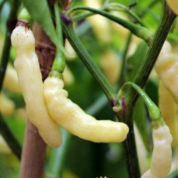 Semi Di Peperoncino Aribibi Gusano 2.5 - 2