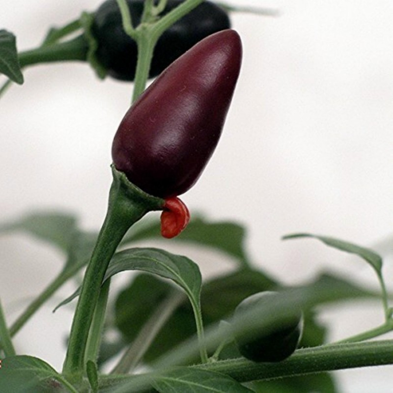 Orozco Chilli Pepper Seeds 1.3 - 1