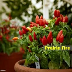 Prairie Fire Seme 1.5 - 4