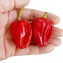 Scotch Bonnet Red Chili Seeds 2 - 2