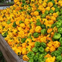 Seme Scotch Bonnet Yellow 2 - 3