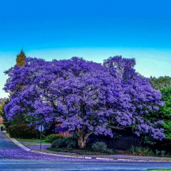Jacaranda Seme (Jacaranda mimosifolia) 2.5 - 8