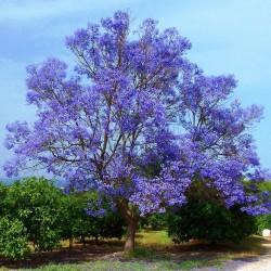 Blue Jacaranda Seeds 2.5 - 1