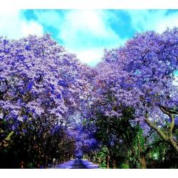 Blue Jacaranda Seeds 2.5 - 4