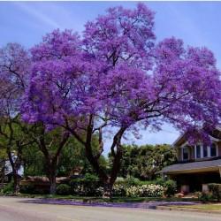 Palisanderholzbaum Samen 2.5 - 7