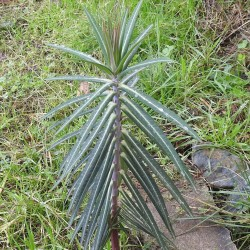 Caper Spurge or Paper Spurge Seeds 2.45 - 2