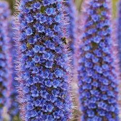 Blauer Natternkopf Samen - Stolz von Madeira 1.5 - 1