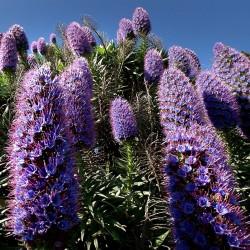 Pride Of Madeira Seeds 1.5 - 2