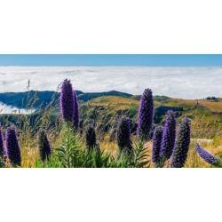 Blauer Natternkopf Samen - Stolz von Madeira 1.5 - 7