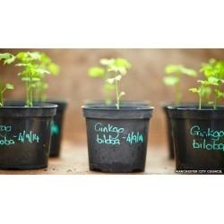 MAIDENHAIR TREE Seeds (Ginkgo biloba) 3.5 - 7