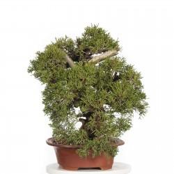 Σπόροι μπονσάι Bonsai Juniperus chinensis 1.5 - 1