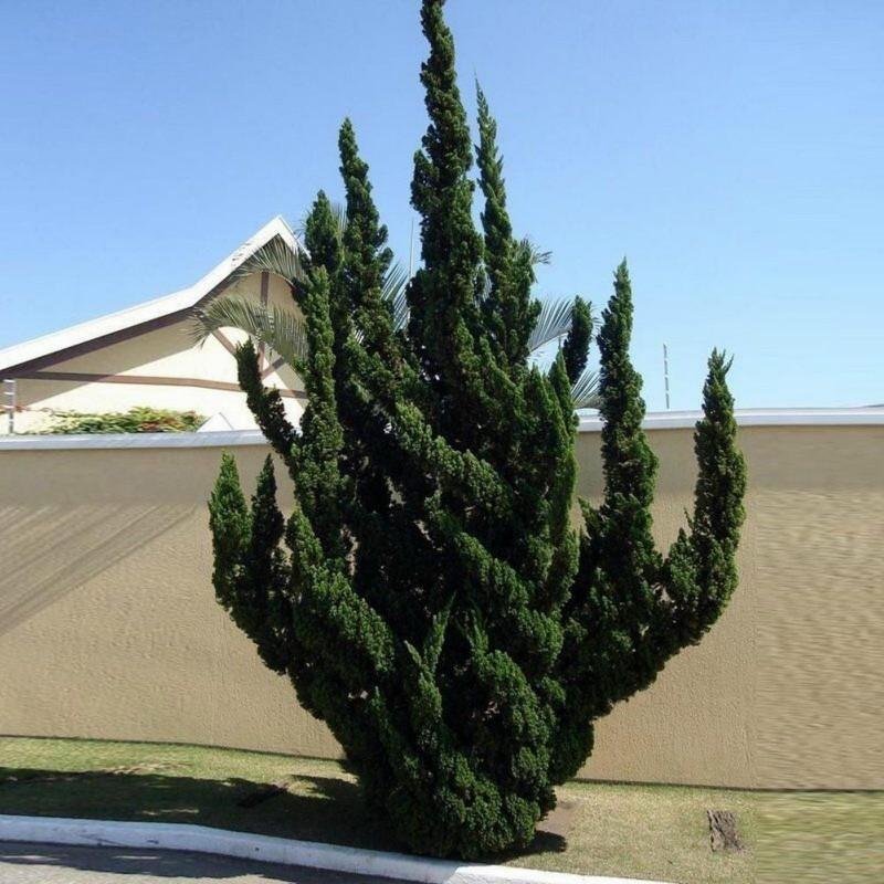 Σπόροι μπονσάι Bonsai Juniperus chinensis 1.5 - 4