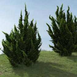 Sementes De Juniperus Chinensis 1.5 - 2